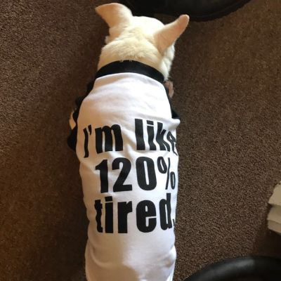 "Robin wears a Tee-shirt saying: ""I'm like 120% tired."" Only Chihuahuas can get that tired! (Saturday, 30th of September 2017)"