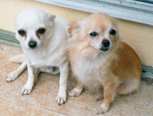 Pic Of Two Gorgeous Chihuahua Rescue Dogs Whose Names We Have Lost Track Do