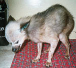 Picture of Elvis, who suffered from a disintegrated jaw.