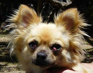 Picture of Sophie showing the cherry eye effect.