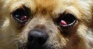 Close-up picture of Sophie's eye, showing very clearly the cherry eye effect.