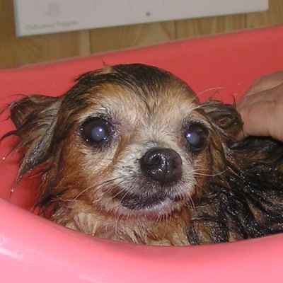 Front gallery picture of bath time for the Chihuahuas.
