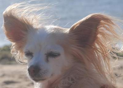 In memory of Portia, a Chihuahua Rescue Victoria dog who found her loving forever home in 2005 and passed away last Tuesday. (Sunday, 22nd of January 2017)