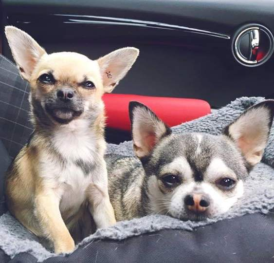 Rio (right) and Taco (left) - they are gorgeous! This note from their Daddy: <em>Hi Rita, just wanted to let you know today is Rio's two year adoption anniversary! Thank you so much for bringing this little man into our lives. I cannot tell you how much he is loved.</em> (Sunday, 21st of June 2015)