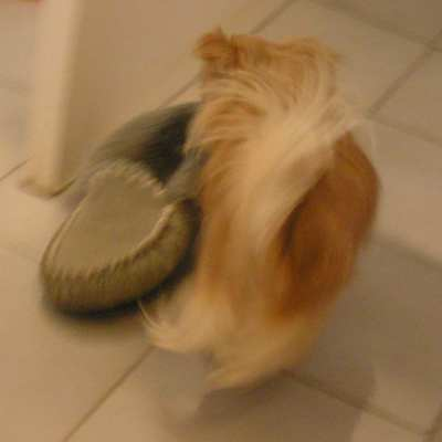 Tinka pinching Mum's slipper while Mum was in the shower! August, 2010.