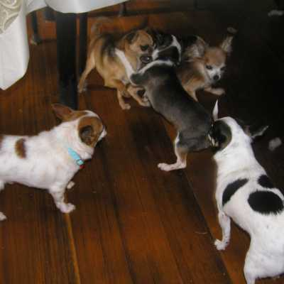 Front gallery picture of playtime for the Chihuahuas in 2009.