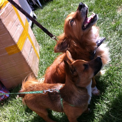 Roscoe (front) and his best mate Rusty, on the day Chihuahua Rescue Victoria attended the Big Day for Dogs at the KCC Park on December 2012.